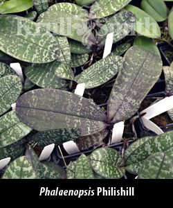 Phal. Philishill