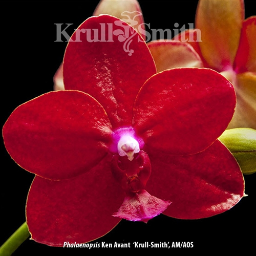Phal. Ken Avant 'Krull-Smith', AM/AOS