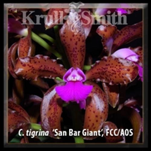 Cattleya tigrina var. leopoldii 'San Bar Giant', FCC/AOS