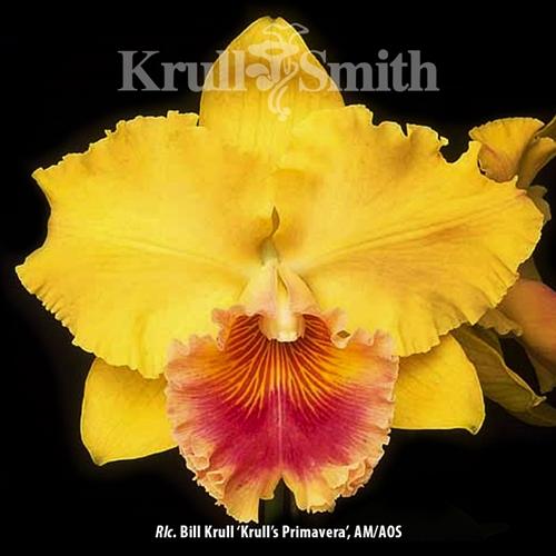 Rlc. Bill Krull 'Krull's Primavera', AM/AOS